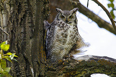 Great horned owl (begineerphotos) Tags: owlbirdbirdofpreygreathornedowltree birdofprey greathornedowl feather feathers friendlychallenges explore explored