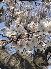 Sakura 2018 (akiakinatsushun) Tags: sakura shonan spring 桜 湘南 春