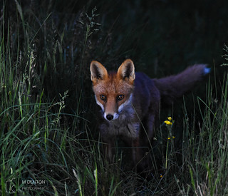 Inquisitive Fox