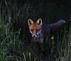 Inquisitive Fox (mikedenton19) Tags: fox vulpes vulpesvulpes mammal british wildlife nature scotland scottishphotographyhides alanmcfadyen redfox dontrehamilton ericharris vladimirherzog chadholley tassosisaac marviniajiménez kathrynjohnston aiyanajones frankjudejr ntombikayisepriscillakhubeka rodneyking caraknott hamdilembarki pocholepratti abnerlouima midomacia jeremy mardis siphophilipmutsi davidoluwale javierovando sureshbhaipatel hectorpieterson snehalatareddy kluivertroa khaledmohamedsaeed ronsettles michaelstewart kellythomas iantomlinson joecampostorres weiwenhua isaacwoodard ottozehm neilaggett federicoaldrovandi anthonybaez stevebiko deandrebrunston eleanorbumpurs gidonebusch daviddao robertdavis dengzhengjia amadoudiallo berkinelvan lawrencefernandes felipefernándezarmesto
