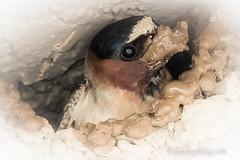 Dirty Bird (Kathleen Jennette) Tags: birds swallows dirtybird featheredfriends