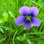 American Dog Violet -  Violette décombante thumbnail