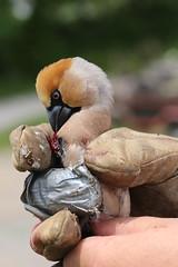 IMG_0811 (rudolf.brinkmoeller) Tags: wandern slowenien artviže kernbeiser coccothraustescoccothraustes finke vogel tier