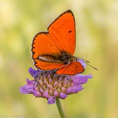 Großer Feuerfalter auf Acker-Witwenblume (AnBind) Tags: 2018 lycaenidae falter butterfly largecopper tagfalter groserfeuerfalter technik makro lycaenadispar schmettering