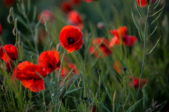 Poppy Close Up (089A6973-2) (Paul Robinson Photography UK) Tags: poppy poppies flower flowers england field