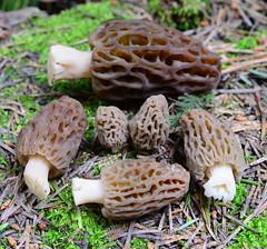 Morels, El Dorado County, Califorina (Damon Tighe) Tags: county eldorado eldoradocounty fungi fungus morchella mycology nature sierra sierranevada spring