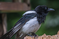 Pica pica (Gazza ladra, Magpie). (Ciminus) Tags: afsnikkor300mmf28gedvrii nikond500 aves picapica uccelli gazzaladra ornitology nature ciminus birds oiseaux ornitologia ciminodelbufalo magpie naturesubjects wildlife