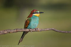 European Bee Eater - Male - (Merops apiaster)- 'Z' for zoom (hunt.keith27) Tags: meropsapiaster europeanbeeeater rainbow spain extramedura canon sigma perched beautiful