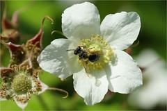 wildflower and bee......... (atsjebosma) Tags: macromondays causedbynature bloem bij blad atsjebosma 2018 may coth5
