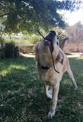 Look at my lovely stick! (rjmiller1807) Tags: dog doggy pup puppy 2017 iphone stick iphonese iphonography capetown stellenbosch southafrica westerncape december happy proud pet