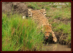YOUNG CHEETAH CUB (Acinonyx jubatus).....MASAI MARA....SEPT 2017 (M Z Malik) Tags: nikon d3x 200400mm14afs kenya africa safari wildlife masaimara keekoroklodge exoticafricanwildlife exoticafricancats flickrbigcats cheetah acinonyxjubatus ngc