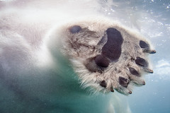 Polar Paw [In Explore 5/26/18] (helenehoffman) Tags: arctic paw bear wildlife conservationstatusvulnerable nature sandiegozoo ursidae mammal polarbear ursusmaritimus carnivore animal coth coth5