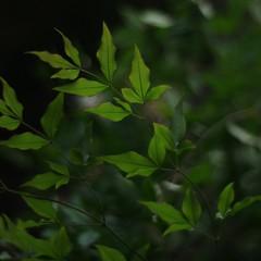 Nandina Leaf (bamboosage) Tags: meyeroprik gorlitz primoplan 1958 preset m42