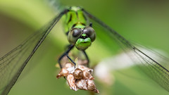 Bug Hunting - May 29th and 30th (50 of 57) (Quentin Biles) Tags: 15028 d850 ex fisherslanding macro nikon os sigma dragonfly
