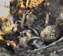 Osprey chicks at Hog Island waiting for Flounder breakfast  2018-06-03 05-34-35-345 (selro4me) Tags: ospreycams osprey raptor birdofprey fisheagle fishhawk nest eggs steve rachel island maine bailey hogisland audubon bremen usa