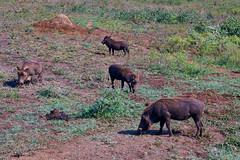 IMG_2641luma (R. Tim Patterson) Tags: warthog whiterhinoceros hluhluweimfolozipark hluhluweimfolozi game reservesouth africazululandkwazulunatal