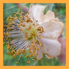 Kiwi flower (Babethaude) Tags: kiwi bokeh closeup elegance flower macro nature spring