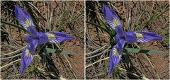 Wild Iris (turbguy - pro) Tags: 3d crosseye stereo