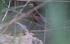 Cistude d'Europe - IMBF0821 (6franc6) Tags: 🐇 camargue 🐢 tortue occitanie languedoc gard 30 milhaud mai printemps 2018 6franc6 vélo kalkoff vae