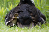 Bei Mama bin ich sicher (Anja van Zijl) Tags: duckling animal babyanimal duck duckfamily baby natur nature liebe love bird birds waterbird vogel