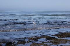Great Blue Heron - Ardea herodias (Björn S...) Tags: ardeaherodias greatblueheron kanadareiher grandhéron aironeazzurromaggiore garzaazulada garzaceniza