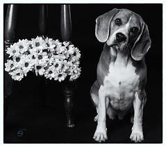 Suri (Sergio Nevado) Tags: suri perro dog beagle mascota pet blanco negro black white blancoynegro blackandwhite retrato portrait studio estudio flores flowers