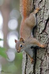 Red Squirrel (Paul Berkloo) Tags: red squirrel tree trees animal wild wildlife eye ears claw