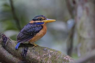 Female Rufous-collared Kingfisher (Actenoides concretus)