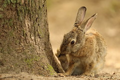 Rabbit (Teruhide Tomori) Tags: rabbit wild animal ohkunojimaisland hiroshima takehara japan japon ウサギ アナウサギ 大久野島 広島 竹原 瀬戸内海 setoinlandsea 動物 野生 nature 自然