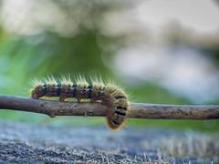 P6081228 (turbok) Tags: insekten raupe schmetterlinge tiere c kurt krimberger