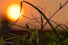 Sunset (Fabrice H. - Photography) Tags: sunset sun sunsets sunsetsky orange orangesky oranje zonsondergang couchedusoleil soleil zon canon canon7d canon7dmkii canon7dmk2 canon70300mmisusml nature natural bamboo planten plants tree