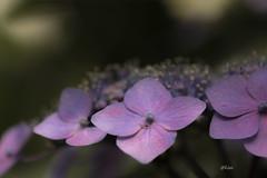 Hydrangea (uko2) Tags: canon canoneos7dmark canon7dm2 tamron180mm flower flora fleurs hydrangea macro greatphotographers