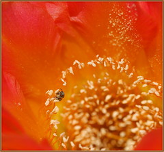 Tiny Bee (tdlucas5000) Tags: cactusflowers cactus echinopsis bee halictidae macro closeup pollen orange d850 sigma105 california