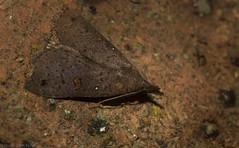 Rhapsa eretmophora (dustaway) Tags: arthropoda insecta lepidoptera noctuidae catocalinae rhapsaeretmophora australianmoths australianinsects australia nature mounttamborine tamborinemountain sequeensland queensland