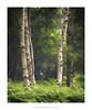 Stand Off (Amar Sood) Tags: amarsoodphotocom amarsoodphotography nikon d800e 247028 nikkor woodland landscape landscapes trees silverbirch summer green breathtakinglandscapes