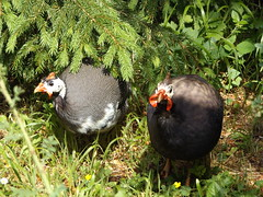 Helmeted Guineafowl, Evenley Wood Garden, Northamptonshire 3 June 2018 (AndrewDixon2812) Tags: helmeted guineafowl guinea fowl bird evenley wood garden brackley mixbury northamptonshire