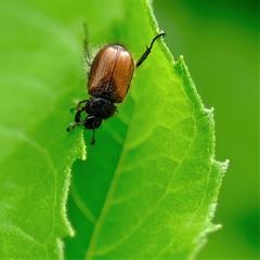 On the edge (peeteninge) Tags: beetle edge animal insects nature leaf kever dieren groen blad natuur fujifilmxt2 fujifilm xf80mmf28 macro