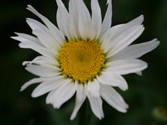 P1000418 (LOLODUTERRIER) Tags: fleur été rouge rose mauve jaunes lys pavot marguerite parfum macro senteur