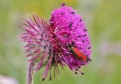 so many Visitors (Hugo von Schreck) Tags: hugovonschreck macro makro bug moth wildflower wildblume philosophyoflife canoneos5dsr tamron28300mmf3563divcpzda010 widderchen insect insekt
