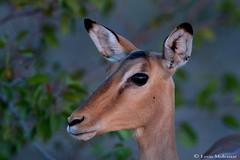 Impala ewe (leendert3) Tags: leonmolenaar southafrica krugernationalpark wildlife nature mammals impalaantelope ngc npc coth5
