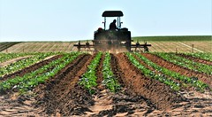 Tilling Sandy Soil (Michael T. Morales) Tags: tractor green agriculture soil rows plow garden farming loam furrows