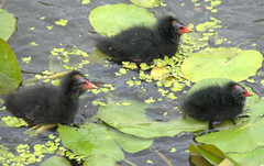 Cute baby Moorhens (Tony Worrall) Tags: preston lancs lancashire city welovethenorth nw northwest update place location uk england north visit area attraction open stream tour country item greatbritain britain english british gb capture buy stock sell sale outside outdoors caught photo shoot shot picture captured baby chicks moorhen small canal wet water cute swim float moorhenchicks young fun green babies