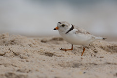 Piping Plover (M) (JDA-Wildlife) Tags: birds nikon nikond7100 tamronsp150600mmf563divc jdawildlife johnny coopersbeachliny portrait closeup eyecontact plovers ploverpiping pipingplover