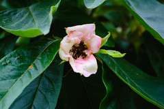 Medlar flower (going over) (Dave_A_2007) Tags: flower medlar nature plant tree stratforduponavon warwickshire england
