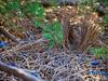Satin Bower Bird Encounter 3 - Ptilonorhynchus violaceus - Barton - ACT - Australia - 20180611 @ 11:15 to 12:00 (MomentsForZen) Tags: barton australiancapitalterritory australia au momentsforzen mfz hasselblad x1d color bird satinbowerbird ptilonorhynchusviolaceus bower blue violet male mating female