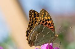 Zöldes gyöngyházlepke (Argynnis pandora) (Torok_Bea) Tags: zöldesgyöngyházlepke argynnispandora gyöngyházlepke home wonderful colours bokeh nikon nikond7200 sigma sigma105 nature butterfly pillangó lepke garden