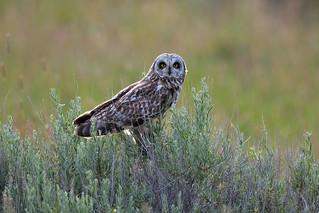 06.16.18 Short Eared Owl Fairfield, ID
