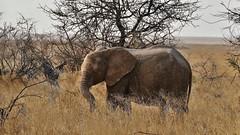 abseits der Herde ..... (marionkaminski) Tags: namibia afrika africa etoshanationalpark etosha tier animal dieren elefant elephant nationalpark dickhäuter panasonic lumix fz1000