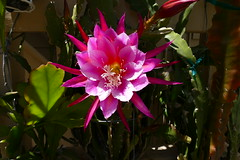 Epiphyllum Unknown [Raybin #3] (nolehace) Tags: epiphyllum unknown raybin 3 618 succulent spring nolehace sanfrancisco fz1000 flower bloom plant