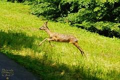 Nice meeting (Jurek.P) Tags: roedeer sarenka sarna walk lasekbielański warsaw warszawa poland polska spring nature jurekp sonya77